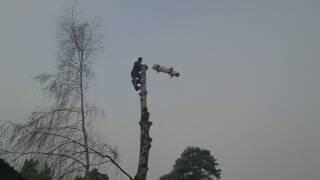 удаления деревьев по частям альпинистом